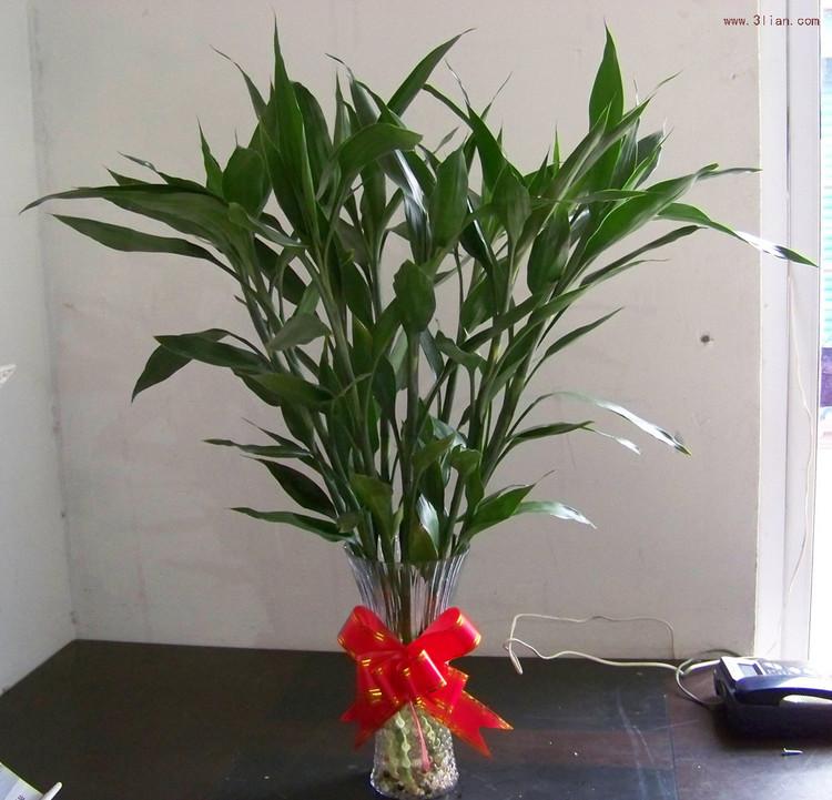 科属:百合科,龙血树属 学名:dracaena sanderiana 别名:万年竹,绿叶